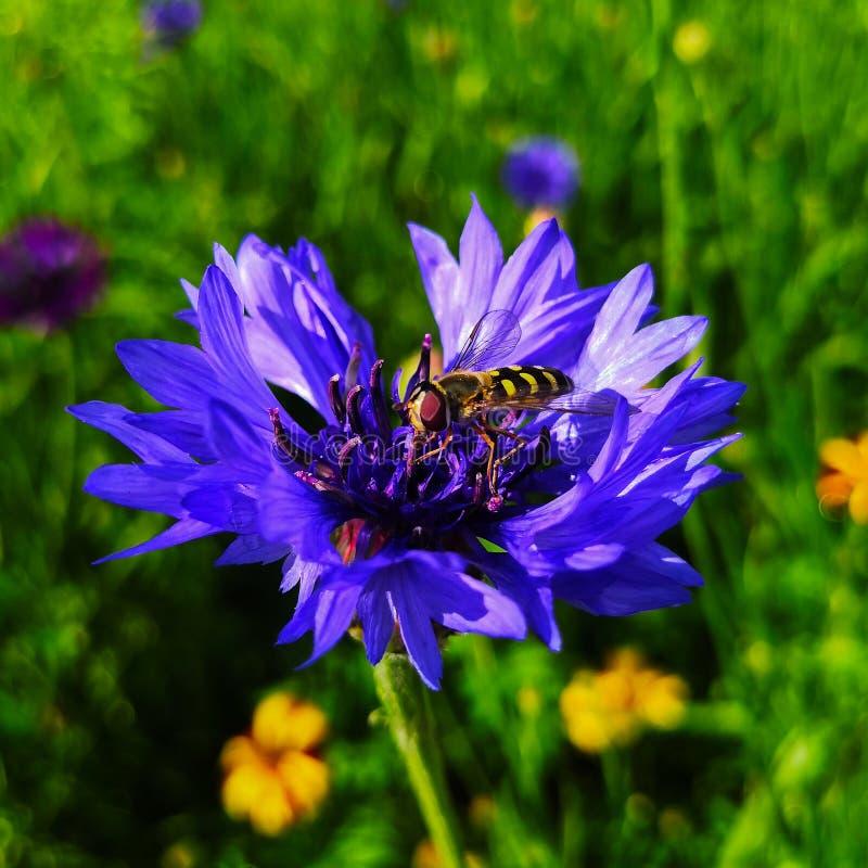 E 在矢车菊的一只蜂 在被日光照射了夏天领域 蓝色矢车菊花 矢车菊 库存图片
