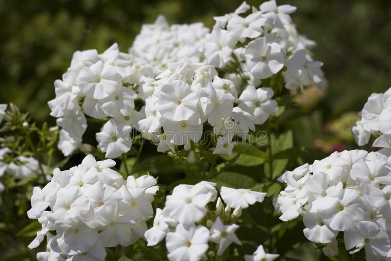 E 在草甸特写镜头的许多白花 免版税库存图片