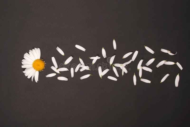 E 在黑背景的春黄菊 库存照片
