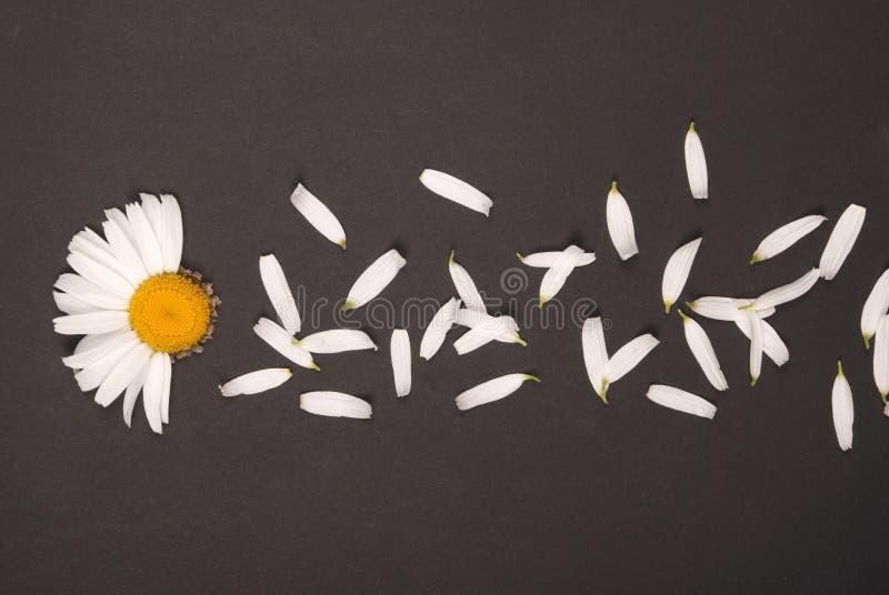 E 在黑背景的春黄菊 免版税库存照片
