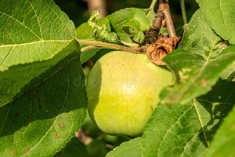 E 成熟的苹果在庭院里 在叶子中的水多的苹果在分支 库存图片