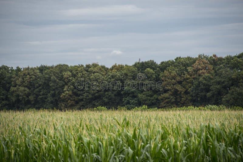 E 接近的麦地在乡下,许多为了收获种植的yong玉米能卖到食物工厂 玉米边缘 免版税库存图片