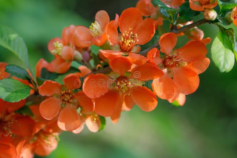 E 明信片的,贺卡花 美丽的红色花柑橘,女王/王后苹果,在绿色的applequince 免版税库存照片
