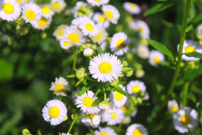 E 春白菊,Leucanthemum vulgare,雏菊,Dox眼睛,月亮雏菊,共同的雏菊,狗雏菊 在t的花概念 免版税库存照片
