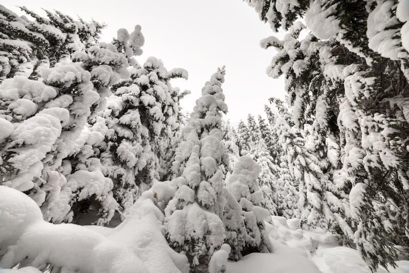 E 有用在明亮冷淡的干净的深雪盖的高深绿云杉的树的密集的山森林 库存照片