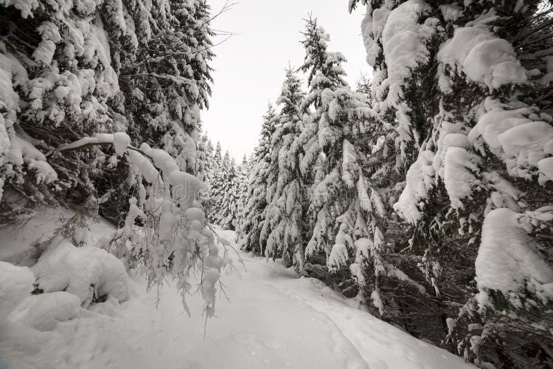 E 有高深绿云杉的,在白色干净的深雪的道路密集的山森林在明亮冷淡 免版税库存图片