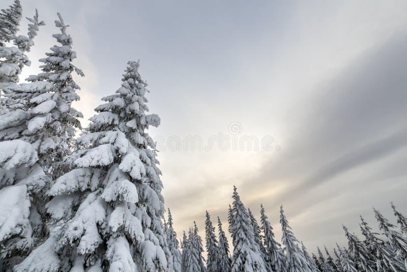 E 用雪盖的高云杉的树在冬天森林和多云天空背景里 免版税库存照片