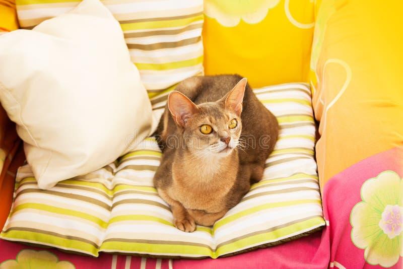 E 画象蓝色埃塞俄比亚母猫的关闭,坐五颜六色的枕头在阳光下 免版税库存图片