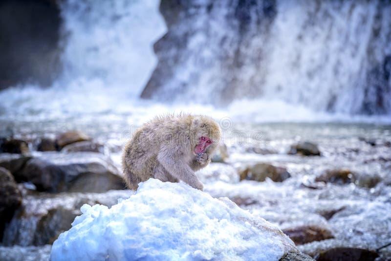 E 红cheeked猴子 在冬天期间,您能看到猴子浸泡在温泉在函馆的普遍的温泉 ?treadled 免版税库存图片