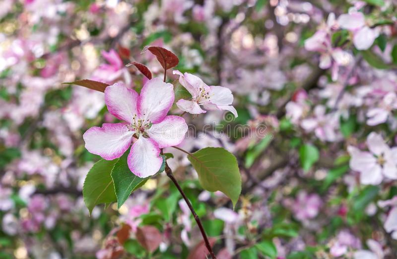 E 苹果树桃红色花  E 库存照片