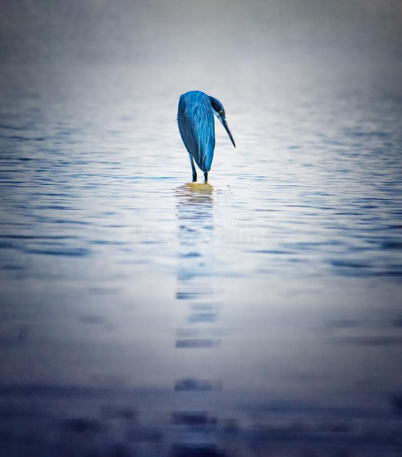 E 这只鸟在水中stanying在河塞卢姆 这是一个鸟类保护区在塞内加尔,非洲 ?? 库存照片