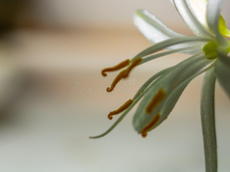 E 雄芯花蕊和雌蕊 植物的背景 库存照片