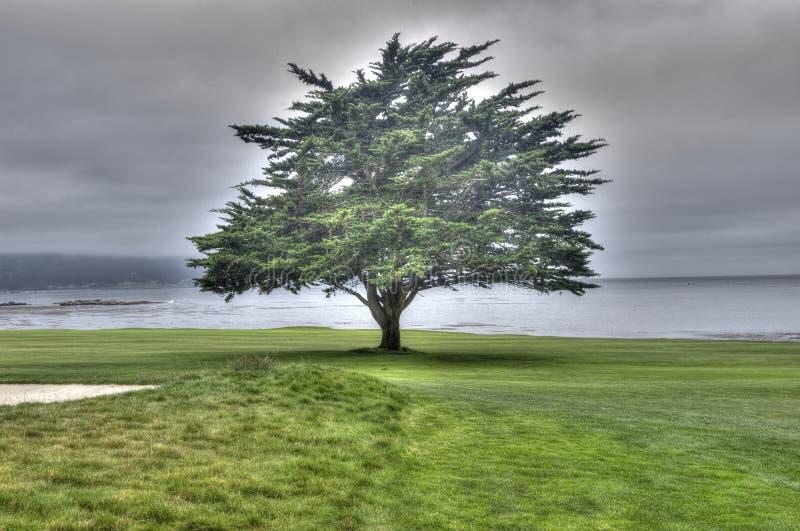 Дерево Пеббл Бич стоковое фото