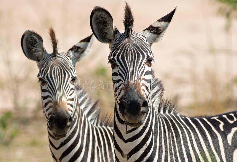 пара чапманов zebra голов смотрит прямо в камеру на юге луангвы стоковая фотография
