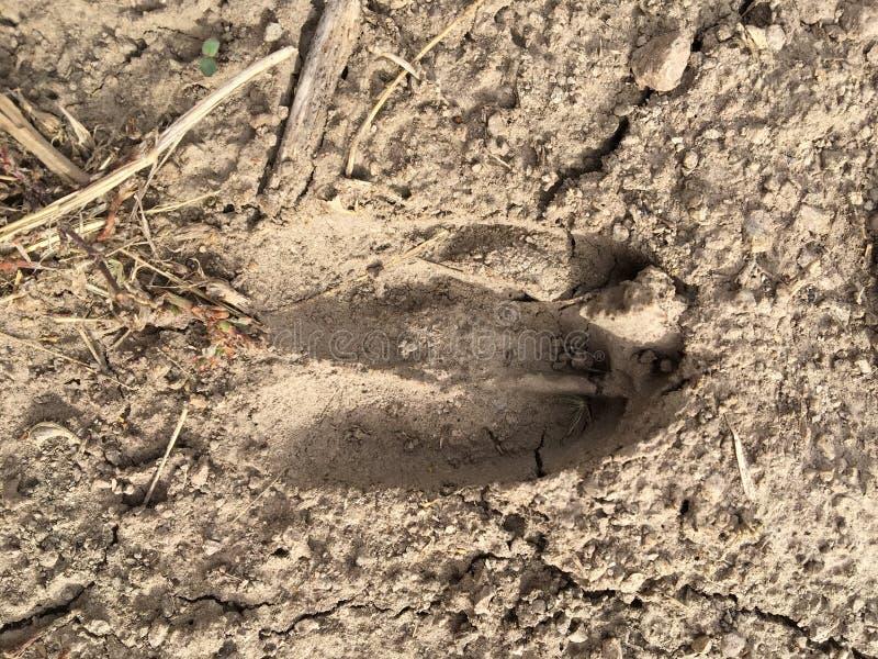 Оглоед, лосось, следы коровы в грязи в лесу, близко, детально, на грязных лошадях проходит по деревьям на Желтом Фо стоковое изображение