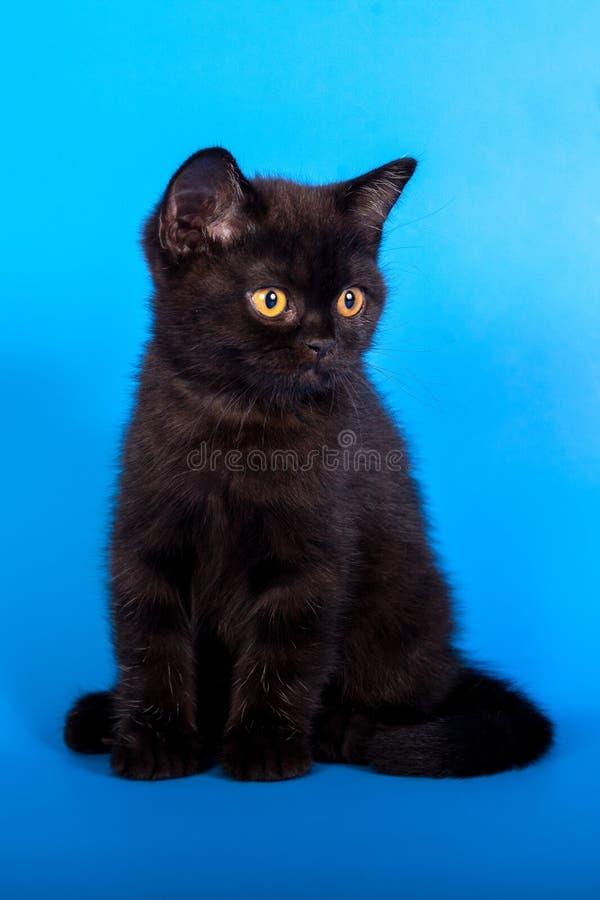 Чёрный котенок на синем фоне стоковое фото rf