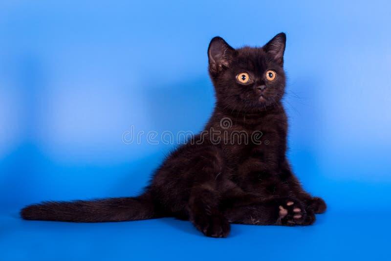 Чёрный котенок на синем фоне стоковые фотографии rf