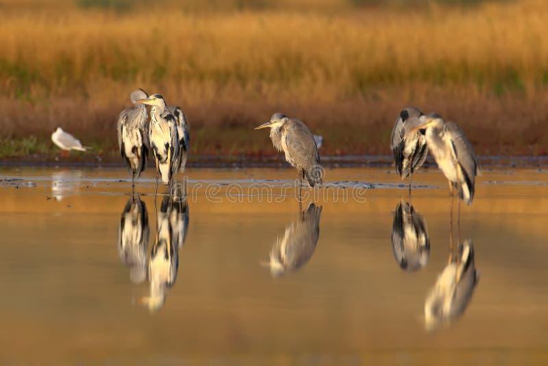 Шесть серых героев и одна черно-головая чайка в мягком утреннем свете стоковые фотографии rf