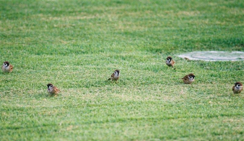 Птицы-воробьи на траве по фотографии стоковое фото rf