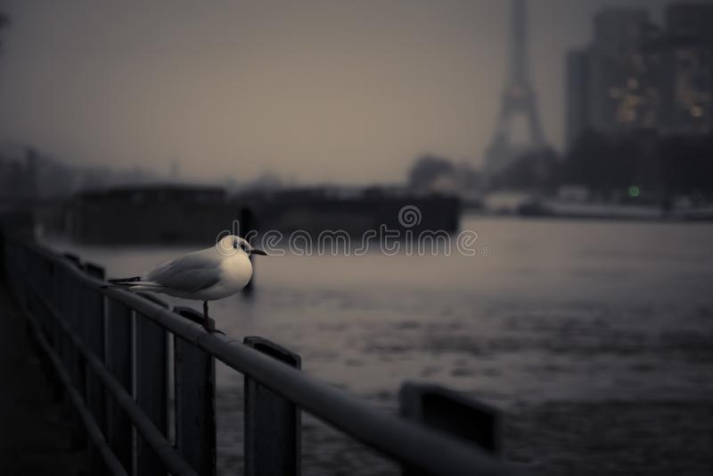 Морской чайка с видом на реку Сена стоковое фото rf