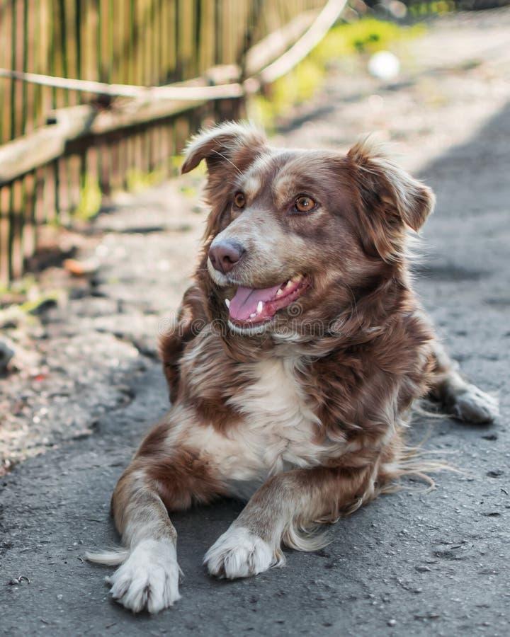 Близкий портрет красивой счастливой коричневой улыбающейся собаки, лежащей снаружи во дворе на серой асфальтовой поверхности рядо стоковая фотография