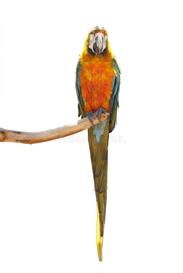 Забавный мокрый попугайчик, сидящий на ветке, изолированный на белом застревом стоковая фотография rf