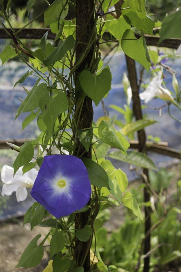 В домашнем ботаническом саду расцветают голубые цветы стоковые изображения