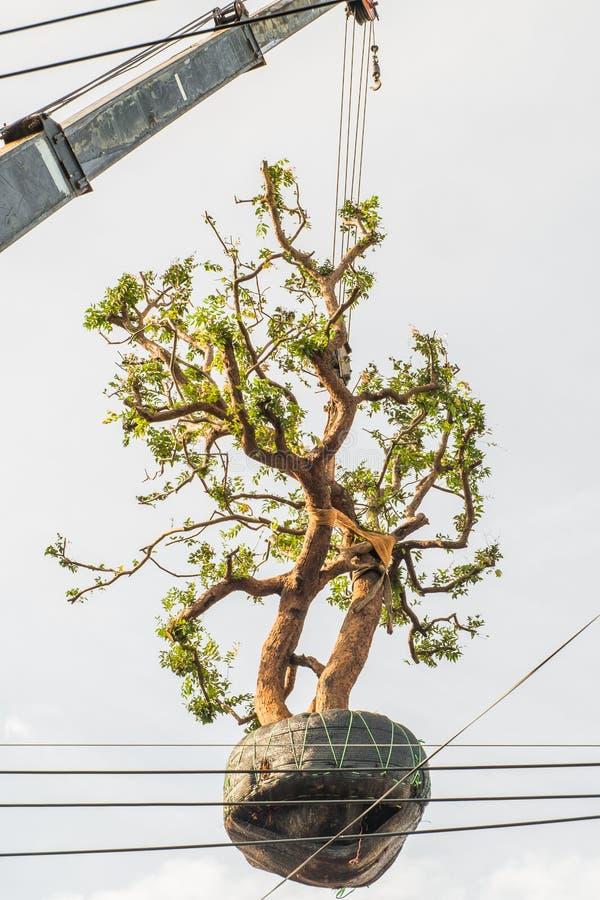 Большое дерево было поднято краном для посадки стоковое изображение
