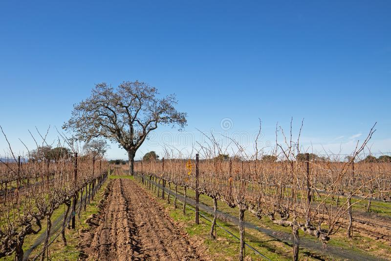Калифорнийское дубовое дерево зимой на винограднике Центральной Калифорнии недалеко от Санта-Барбара Калифорния США стоковые фотографии rf