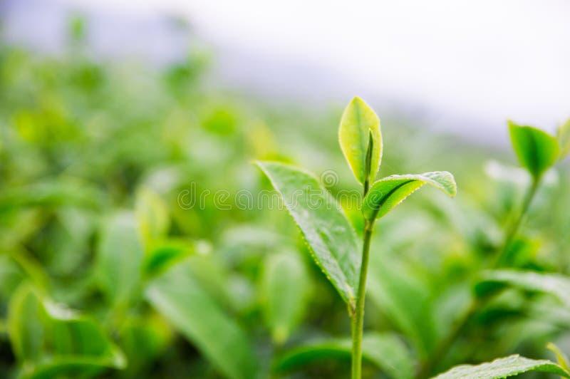 茶叶的上面在农场 库存图片