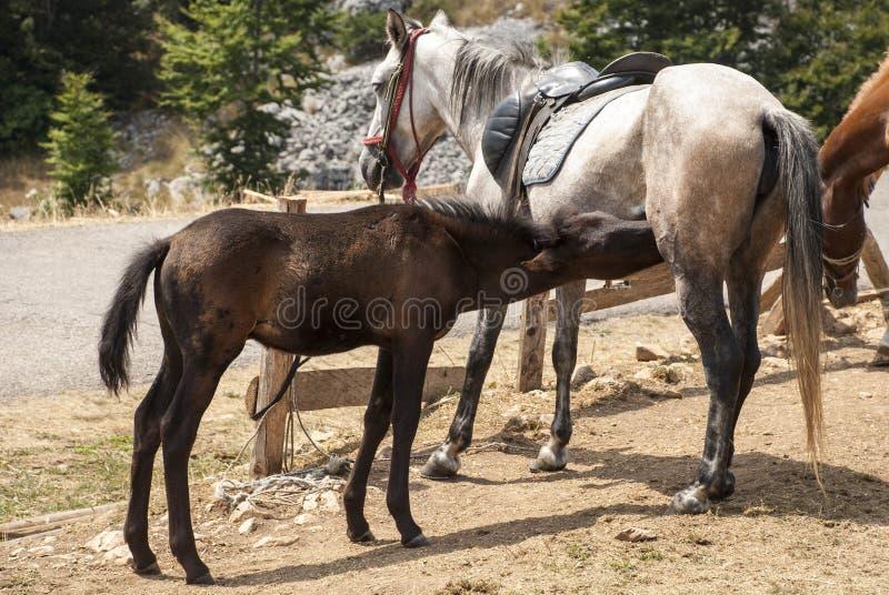 逗人喜爱的棕色从他的母亲的驹饮用奶 免版税图库摄影