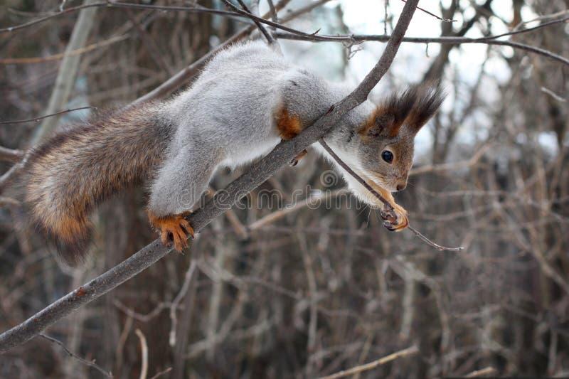 在一棵树的灰鼠在春天森林 免版税库存照片