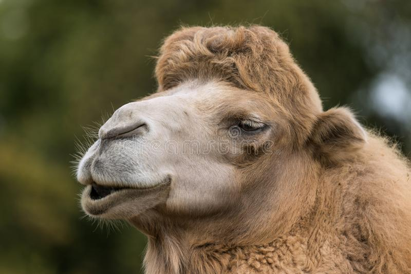 一头微笑的骆驼的画象 库存照片