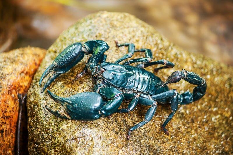 Scorpione blu sulla roccia immagini stock