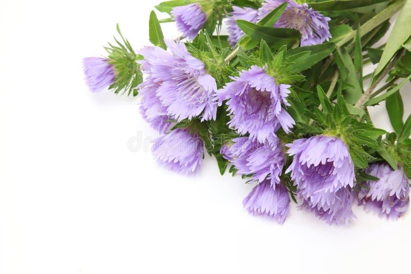 Букет цветов Пинкушиона на белом фоне стоковые фото