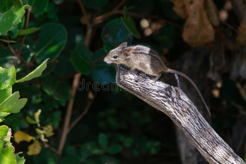 Три полосатые мыши стоковое изображение rf