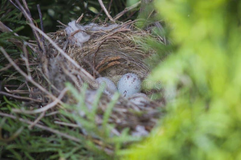 Яйца обыкновенных кардуэлис каннабиных птиц, лежавших в гнезде в туже стоковые изображения
