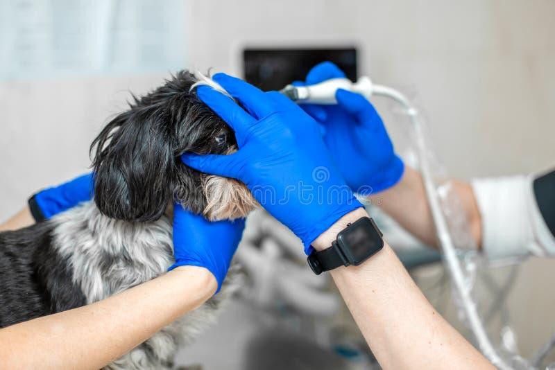 E Ajudas assistentes para manter o cão quando o doutor for um veterinário imagem de stock