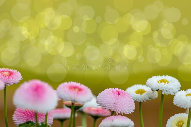 E Bei fiori soleggiati bianchi e di rosa con il fondo verde naturale vago del bokeh, fuoco selettivo immagine stock libera da diritti