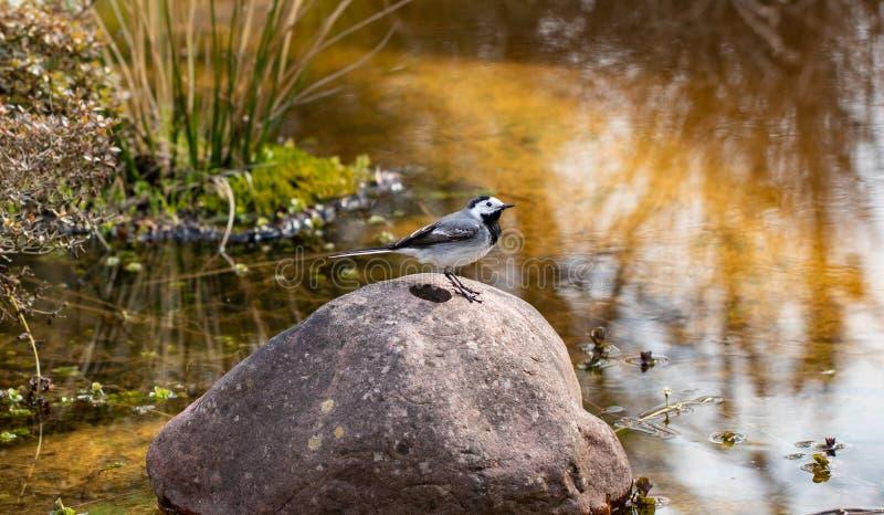 E Biała pliszka na skale w płytkiej rzece w wczesnej wiośnie w Niemcy r zdjęcia stock