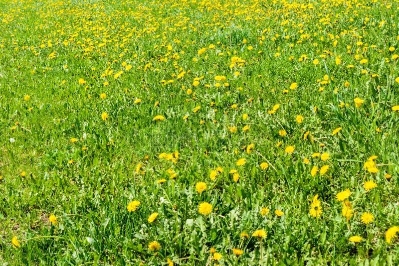 E blomma f?r maskrosor r fotografering för bildbyråer