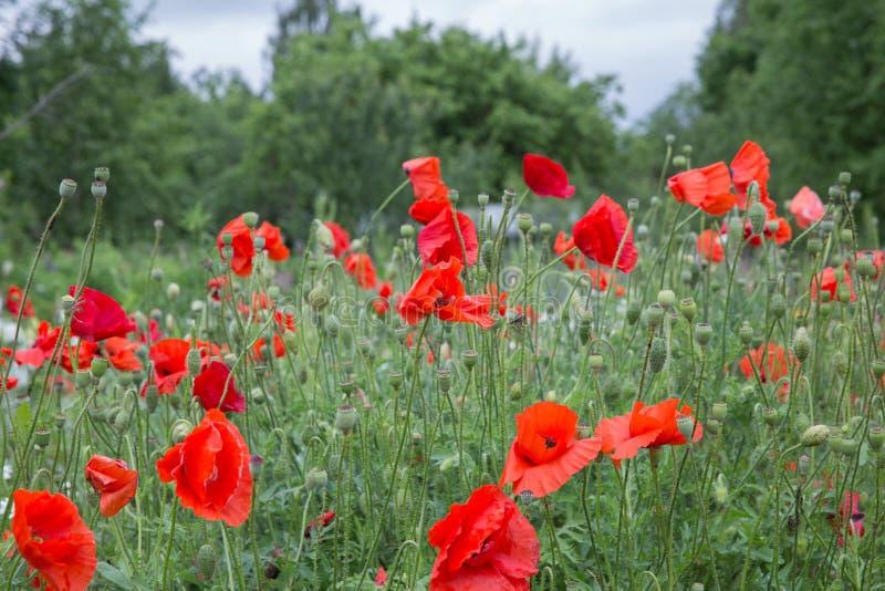 E Campo vermelho da papoila e natureza verde Foto 14 do curso junho 2019 foto de stock royalty free