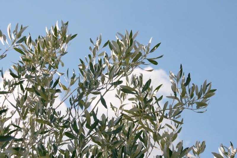 E cielo di olivo immagine stock immagine di nubi verde for Acquisto piante olivo