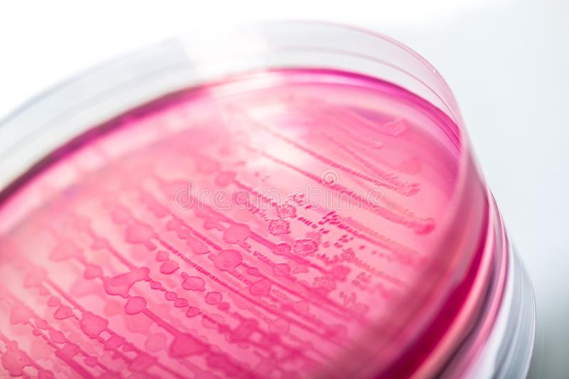 E. coli royalty free stock photos