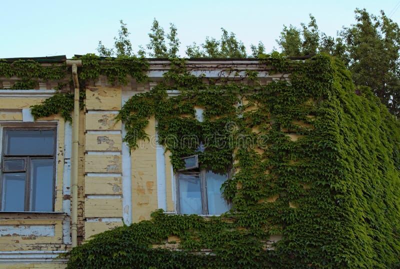 E Constru??o de casa coberta com a hera Parede de tijolo de escalada da planta verde da hera imagem de stock