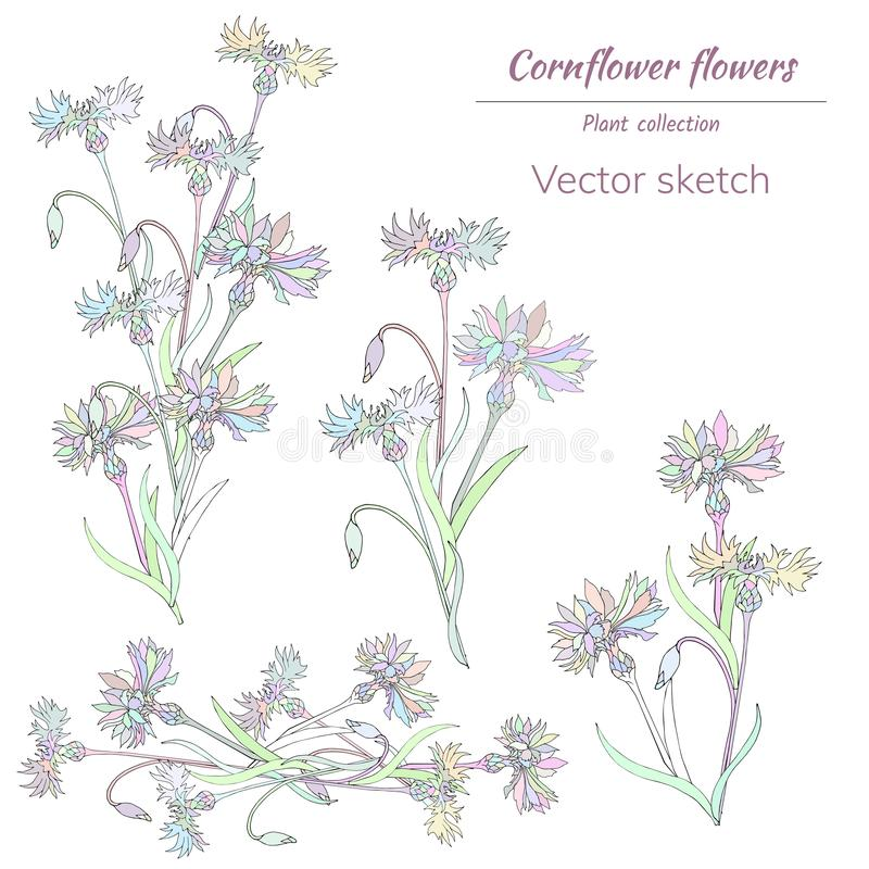 E cornflowers r vector illustratie