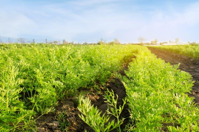 E Crescita coltivante i raccolti Bello paesaggio sulla piantagione agricoltura immagini stock