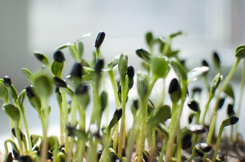 E De groei van verse en ruwe spruiten Gezond voedselconcept stock afbeeldingen