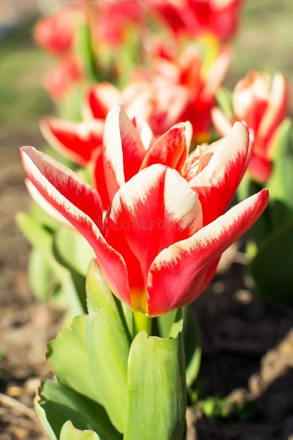 E De lente het bloeien van tulpen in een openbaar park stock foto's