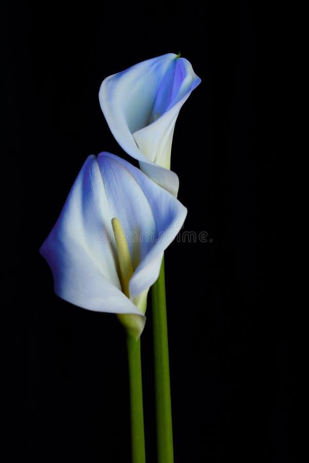 E Duas flores bonitas fotos de stock royalty free